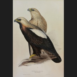 http://www.cerca-trova.fr/15136-thickbox_default/d-apres-edward-lear-peregrine-falcon-lithographie-rehaussee.jpg