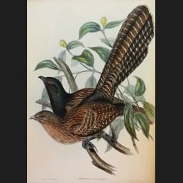 http://www.cerca-trova.fr/15148-thickbox_default/d-apres-john-gould-centropus-phasianus-lithographie-rehaussee.jpg