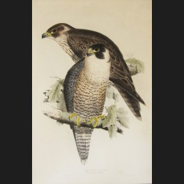 http://www.cerca-trova.fr/7416-thickbox_default/d-apres-edward-lear-peregrine-falcon-lithographie-rehaussee.jpg