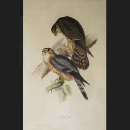 http://www.cerca-trova.fr/7432-thickbox_default/d-apres-john-gould-merlin-lithographie-rehaussee.jpg